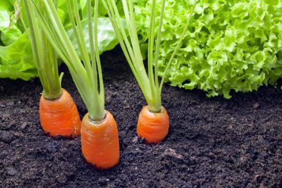 zanahorias-en-tu-huerta-2