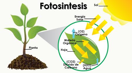 Fotosintesispreguntas
