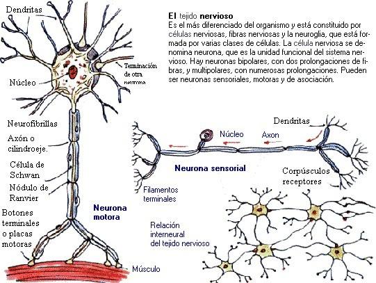 neurona006