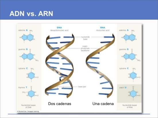 Información De ADN Y ARN: Cuadros Comparativos Y Cuadros