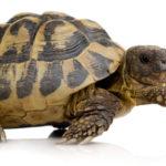 Información interesante sobre las tortugas acuáticas y terrestres