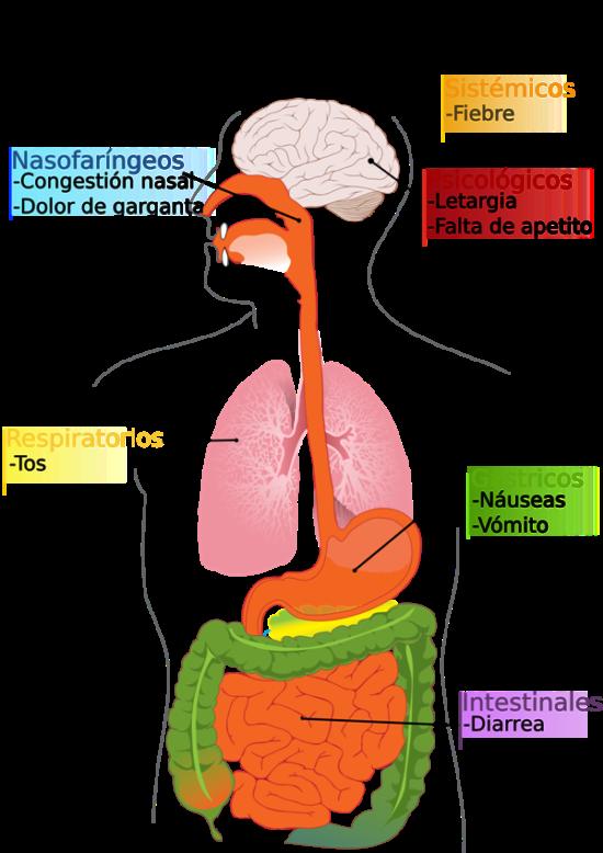 _uploads_2013_07_sintomas-de-la-gripe-a-h1n1-Razas-Porcinas