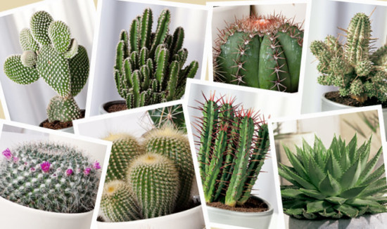 Informaci n sobre los cactus sus caracter sticas y for Tipos de cactus