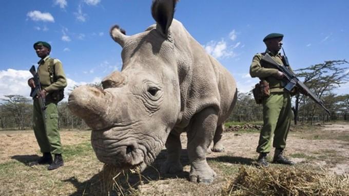 fecundacion-in-vitro-la-ultima-esperanza-del-rinoceronte-blanco