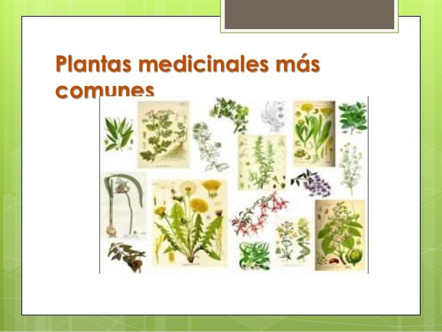 Plantas medicinales m s efectivas con sus usos y for Plantas decorativas con sus nombres