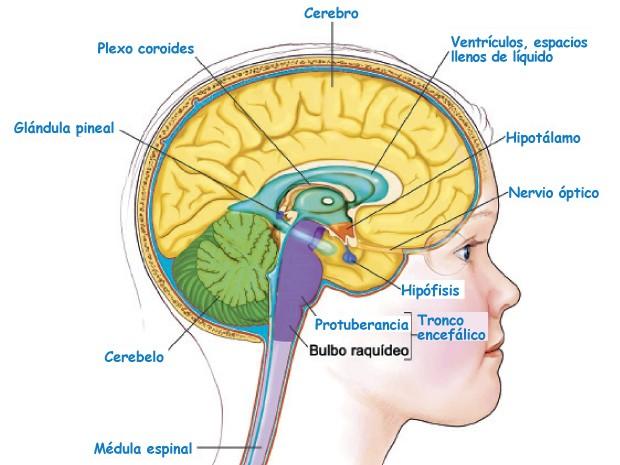 Sistema Nervioso Humano: Caracteristicas, Partes, Funcionamiento ...