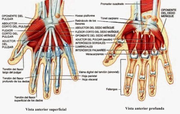 Sistema Muscular Humano - Partes, Nombres, Funciones + Imágenes ...