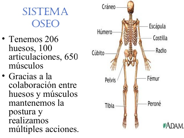 Cuántos huesos tiene el cuerpo humano adulto? | Informacionde.info